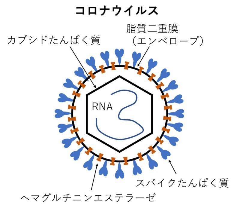 写真・図版 : コロナウイルスの形状