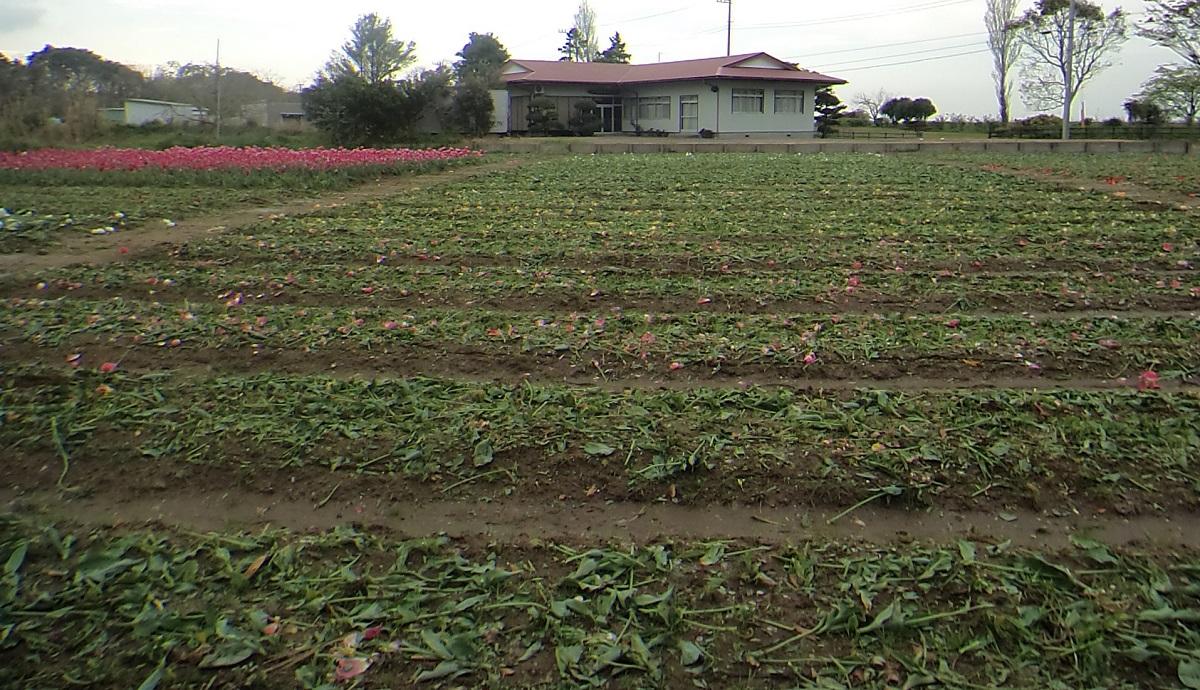 刈り取られたチューリップ。残った畑の花(左上)も22日になくなった=茨城県稲敷市浮島、市提供 20200422
