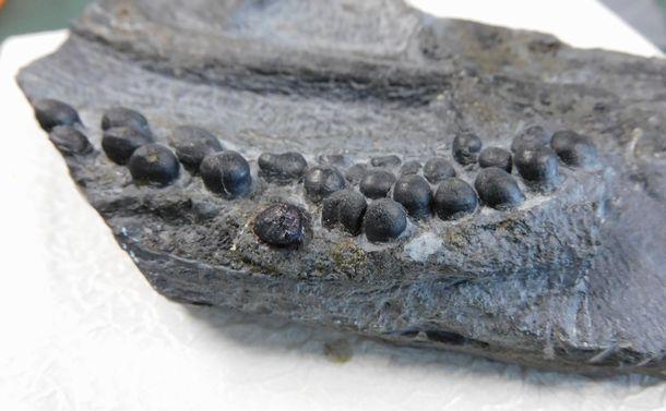 タピオカみたいな丸い歯が並ぶ そんな中生代化石の正体は何?