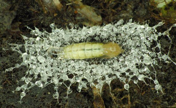 写真・図版 : チョウチンゴケ類の中に作られた、ミカドシギキノコバエの繭。粘りのある糸で覆われている=奥山雄大さん撮影