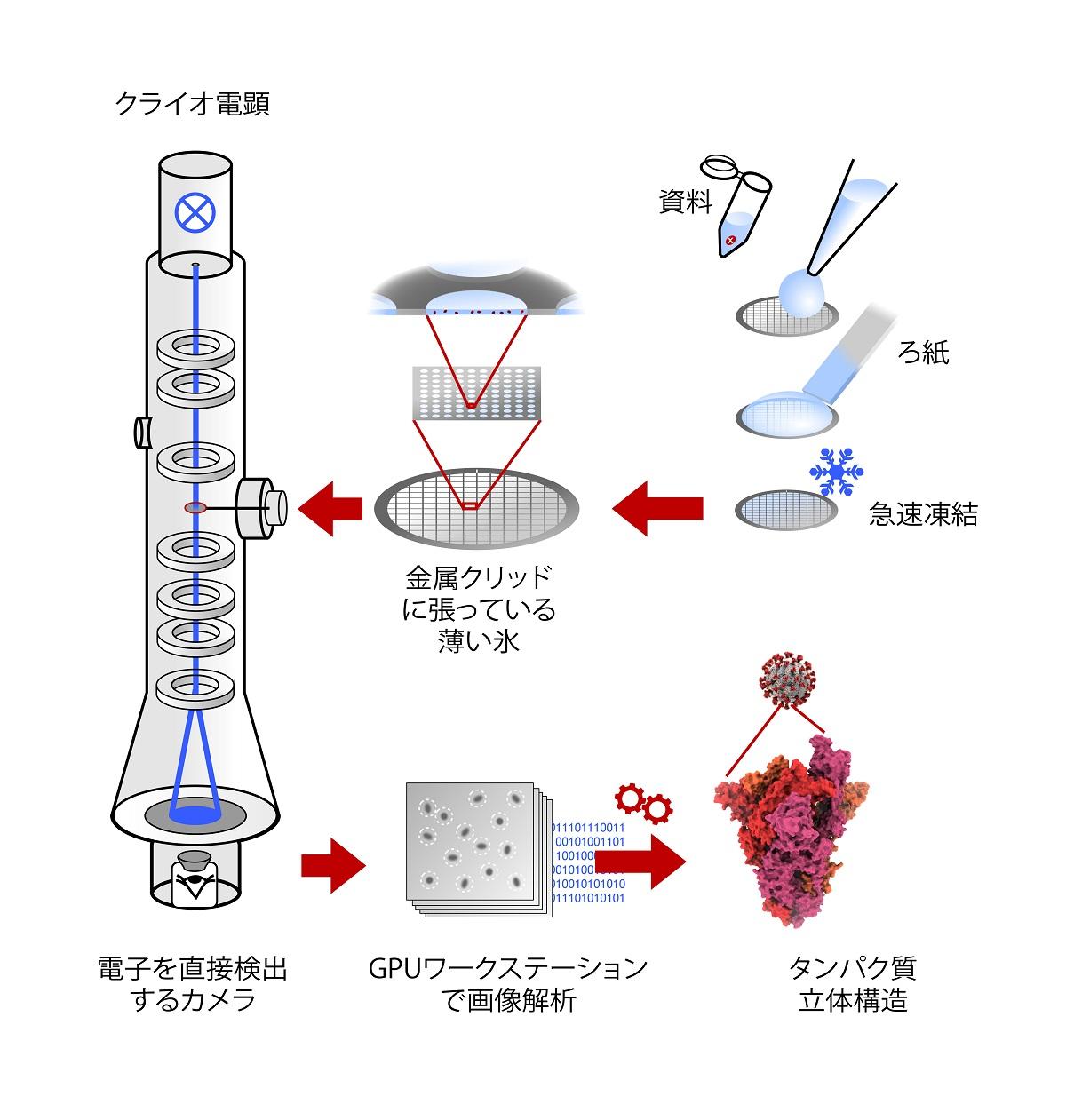 写真・図版 : クライオ電子顕微鏡を使ったタンパク質構造研究の手順。凍らせたガラス状の薄い膜を作り、何千もの画像を撮影した後、コンピューターで3D構造を再構築する