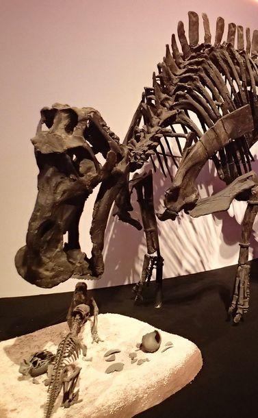 写真・図版 : 親が子の世話をしていたとされるハドロサウルス類恐竜のマイアサウラ。卵にはスフェロウーリトゥスという学名がある=「恐竜博2019」で筆者撮影