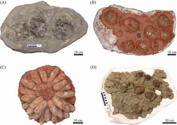 写真・図版 : 恐竜の巣化石の例。(A)ハドロサウルス類=カナダのロイヤル・ティレル古生物博物館所蔵(B)竜脚類=フランスのエクス・アン・プロヴァンス自然史博物館所蔵(C)オビラプトロサウルス類=中国の贛州博物館所蔵(D)トロオドン類=ロイヤル・ティレル古生物博物館所蔵、いずれも田中康平さん提供