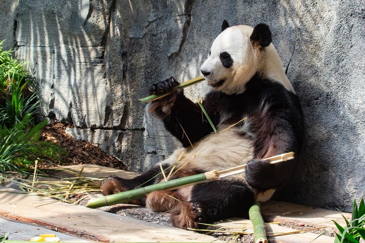 写真・図版 : カルガリーの動物園のパンダ=2018年、Alex JW Robinson/shutterstock.com