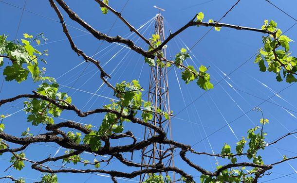 写真・図版 : ブドウはどんどんと成長します。山梨の暑い夏にはさらにぐんぐん成長します=大木貴之さん撮影