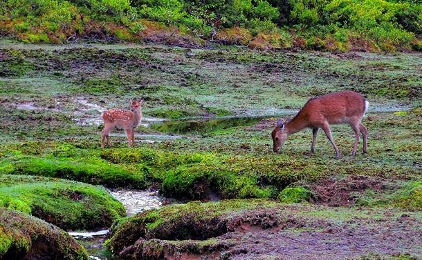 写真・図版 : シカの採食や踏み荒らしで田んぼのようになった屋久島の高層湿原。シカは本来、平野の動物であるが、当面は山の中で人間が管理し続けるしかない=屋久島・花之江河、筆者撮影