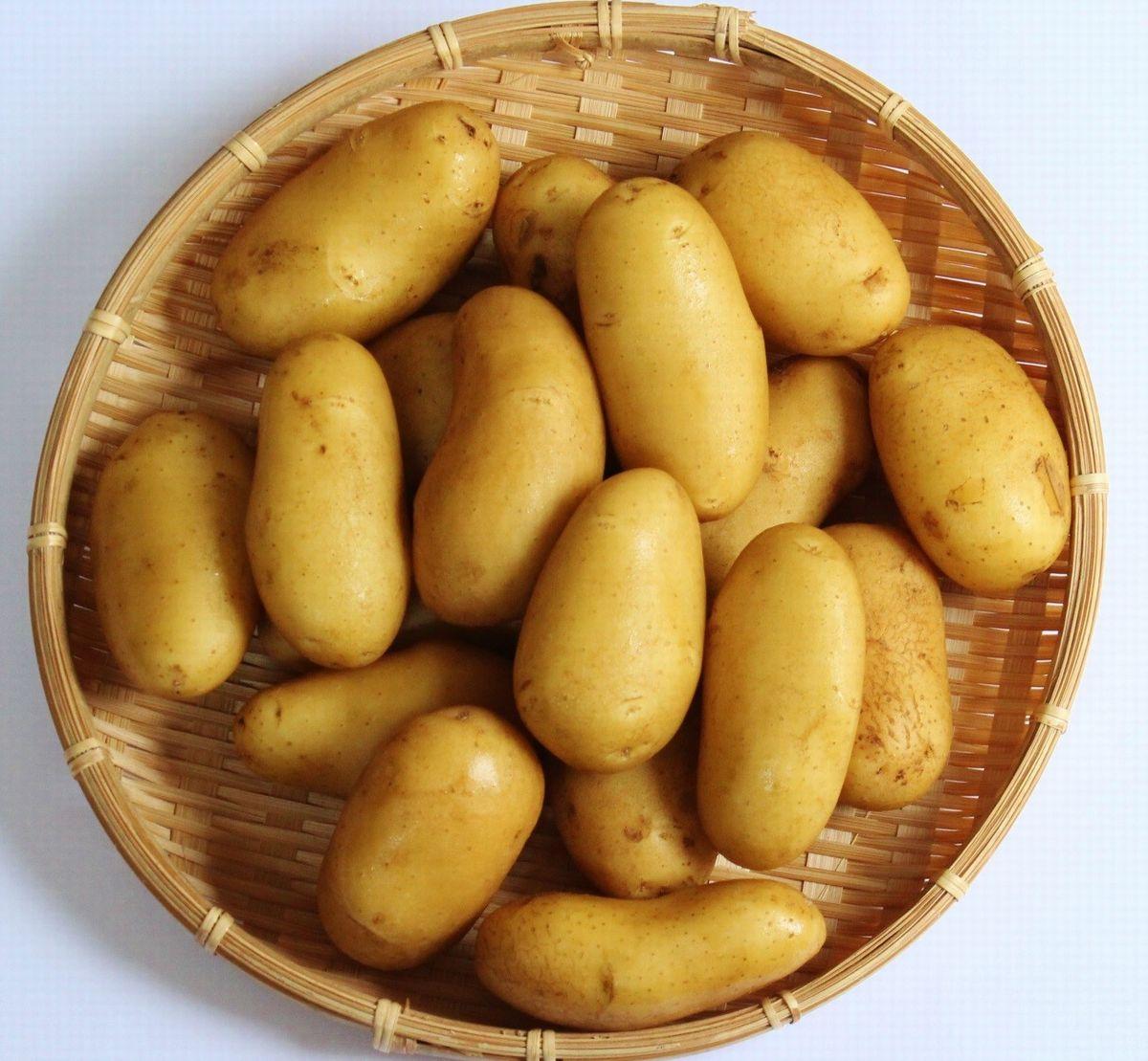 写真・図版 : 箱根西麓三島野菜のひとつ、メークイン(筆者撮影)