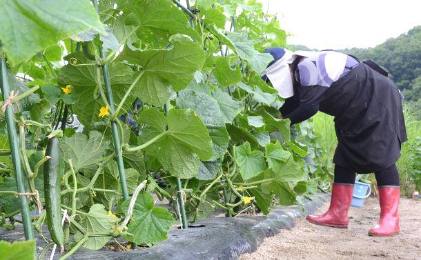 写真・図版 : 環境省の実証事業としてつくった農地ではキュウリやミニトマトが実をつけていた=2020年7月10日、飯舘村長泥