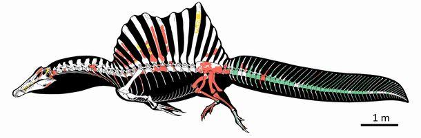 写真・図版 : スピノサウルスの骨格の新たな復元図。緑の部分が最近の科学的発掘で見つかった=Marco Auditore画、国際研究チーム提供