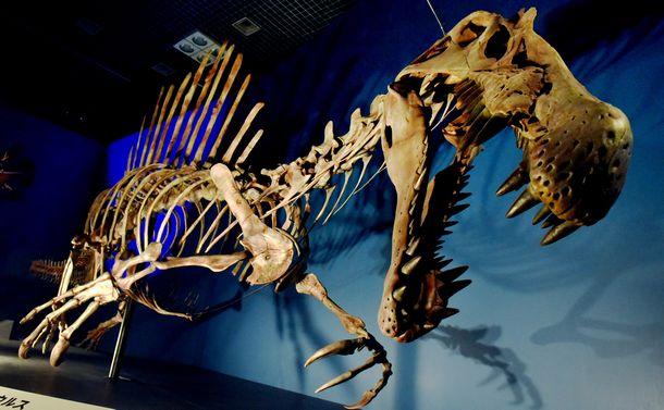 写真・図版 : 「恐竜博2016」で展示されたスピノサウルスの全身復元骨格。細長い口と鋭い歯で水中の魚を捕らえたと考えられている=白井伸洋撮影