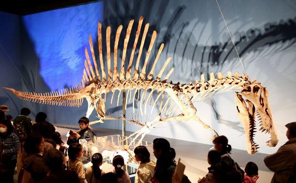 写真・図版 : 「恐竜博2016」で展示されたスピノサウルスの全身復元骨格。この時はまだ尾の幅が狭い=飯塚悟撮影