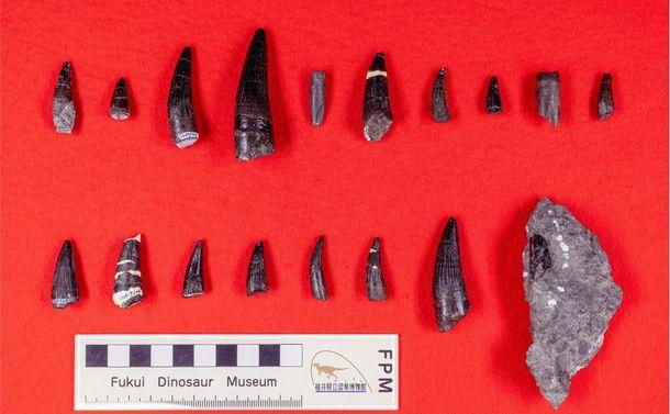 写真・図版 : 福井県勝山市で発掘されたスピノサウルス類の歯の化石18点=福井県立恐竜博物館提供