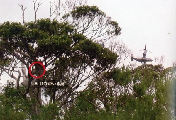 写真・図版 : ノグチゲラの巣立ちを妨害するオスプレイ =2014年5月、宮城秋乃さん撮影