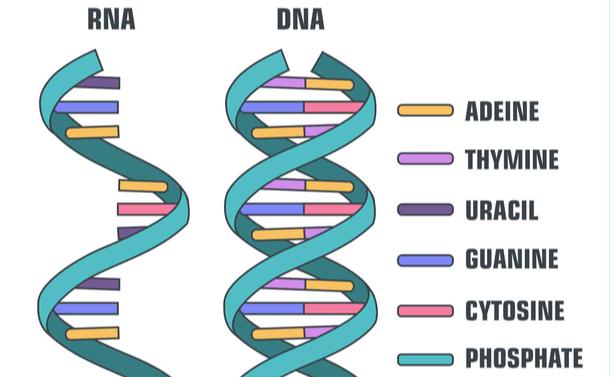 写真・図版 : RNAとDNA。青いリボン状が「リン酸」で、右側の説明の一番下にある。それ以外の説明は「塩基」で、上からアデニン、チミン、ウラシル、グアニン、シトシン=shutterstock.com