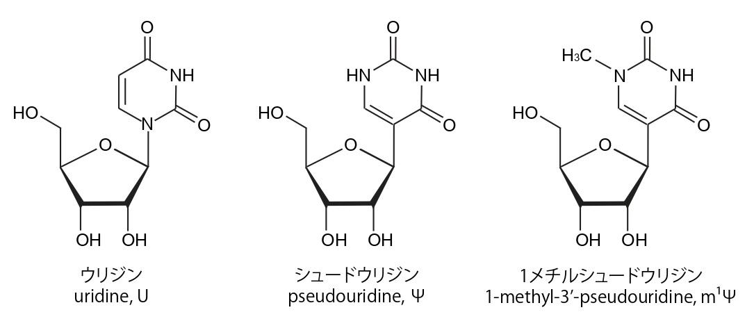 写真・図版 : RNAを構成する塩基「ウリジン」と、それを化学修飾した「シュードウリジン」。ウリジンをシュードウリジンに置換したmRNAワクチンを使うと、炎症反応が抑えられるだけでなく、目的のたんぱく質が大幅に増える。ファイザー・ビオンテックのワクチンでは「1メチルシュードウリジン」が使われている。