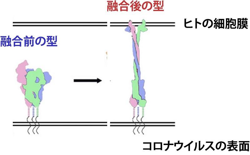 写真・図版 : 図3:ヒトの細胞と出会うと劇的に形が変化するコロナウイルス突起たんぱく質=https://www.pnas.org/content/114/35/E7348.shortより改変