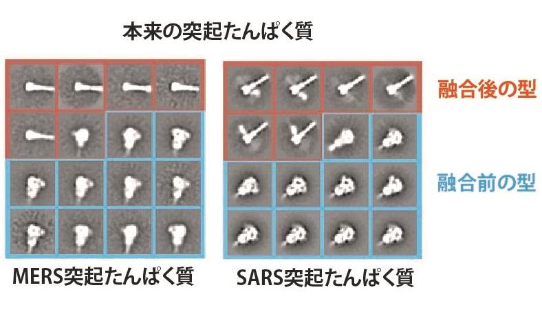 写真・図版 : 図4:試験管内で作らせた突起たんぱく質のクライオ電子顕微鏡画像。融合前の型(青枠)と、バネが伸びた融合後の型(赤枠)が混じっている。左はMERS、右はSARSの突起たんぱく質=マクレラン博士らの論文(下のリンク)から改変
