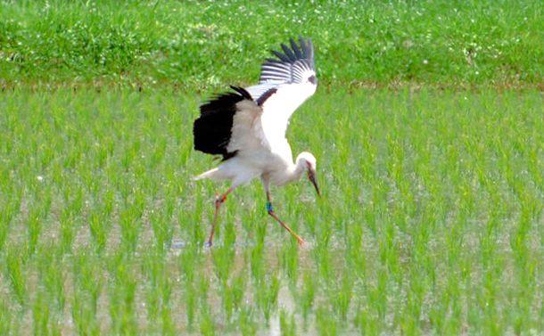写真・図版 : 巣立ちをし、水田に降り立ったコウノトリ=2018年6月18日、島根県雲南市教委提供