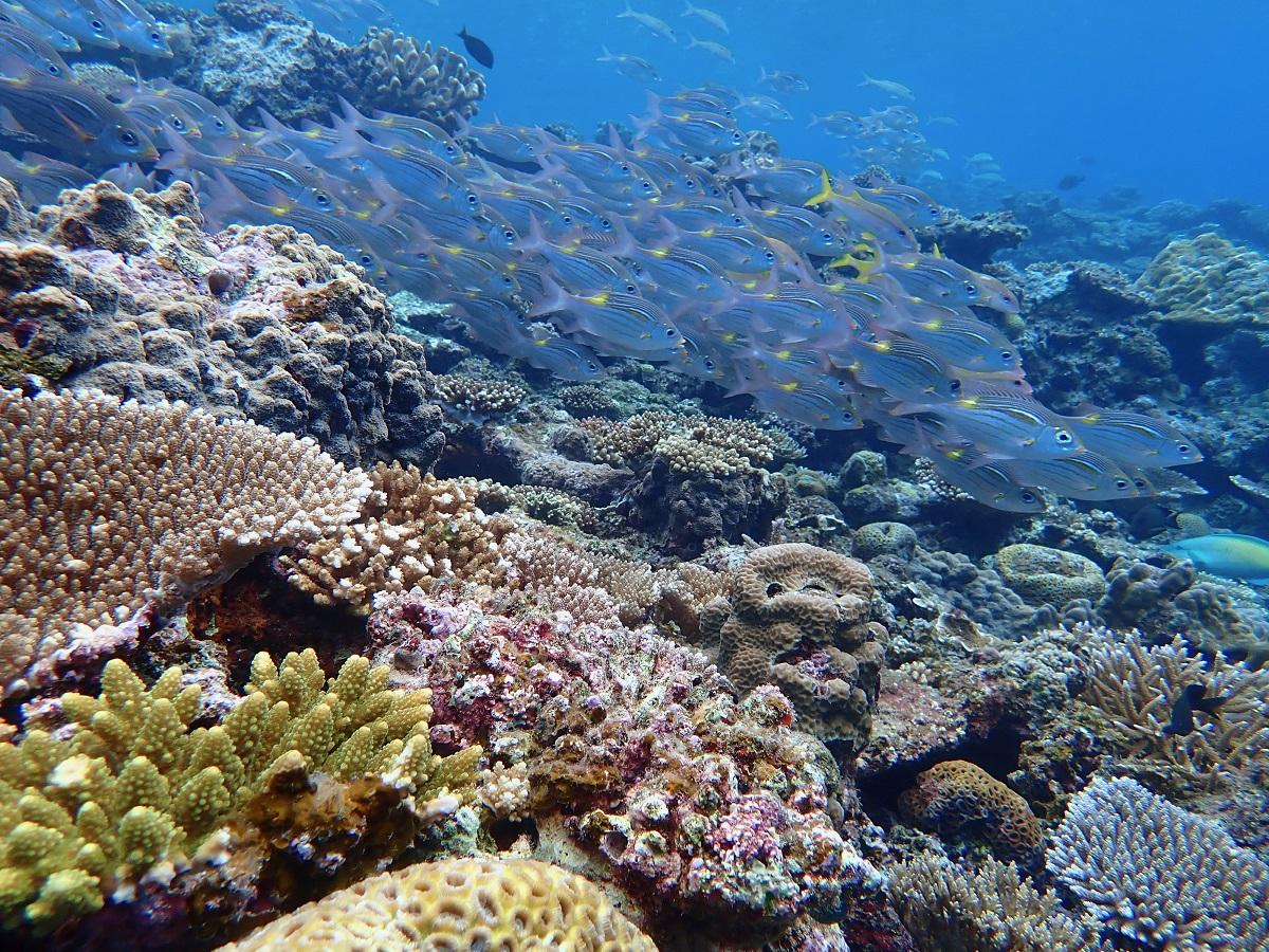 写真・図版 : サンゴとノコギリダイの群れ(筆者撮影)