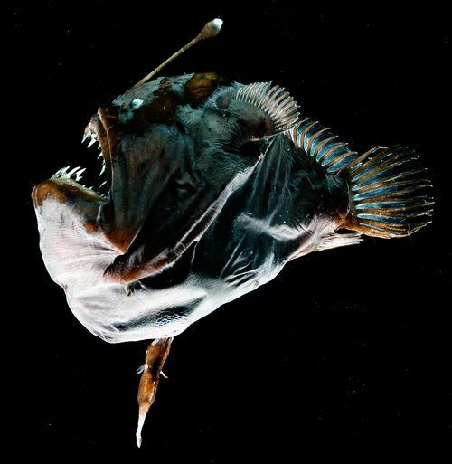 写真・図版 : ペリカンアンコウ。雌の腹部に雄が一時的に寄生している=研究グループ提供