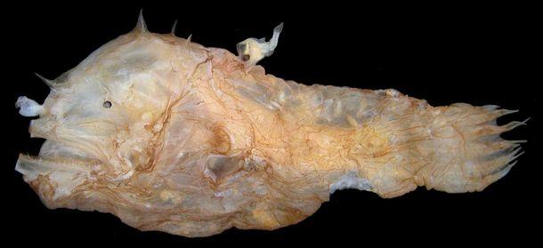 写真・図版 : ヒカリオニアンコウ。この種も獲得免疫が働かず、雄が雌の体表へ永続的に寄生する=研究グループ提供