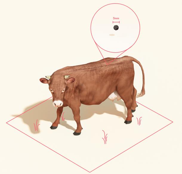 写真・図版 : 図1:生きた牛を殺さずに3mm程度の生体を取り出し、細胞を採取する。(写真はMosa Meat提供)