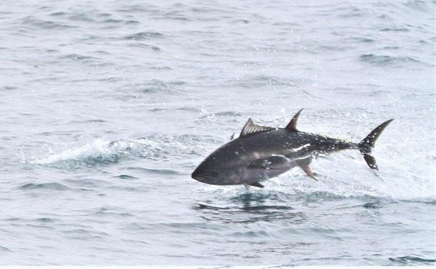 クロマグロの資源回復に小型魚の漁獲を減らす仕組みが欲しい