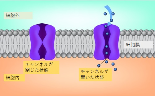 写真・図版 : 細胞膜にあるチャンネルの模式図=shutterstock.com